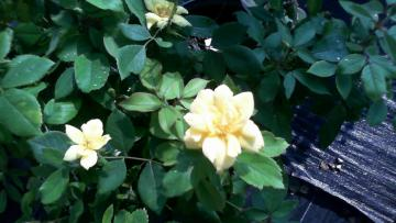Shrub Available at Walnut Grove Nursery