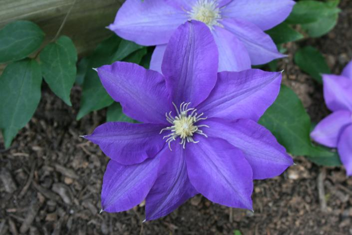 Use this perennial vine or any of the many varieties of Clematis to add blooming color to any fence or trellis.